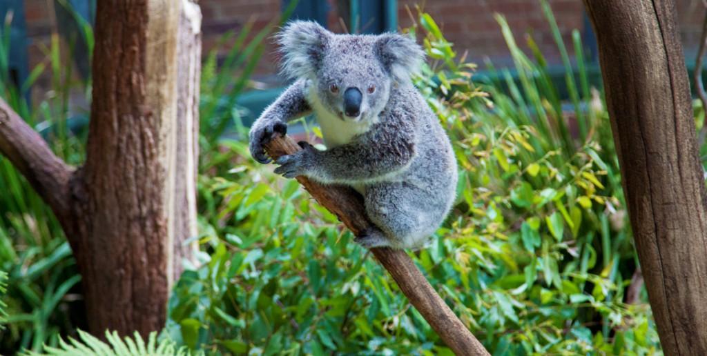 koala-sydney